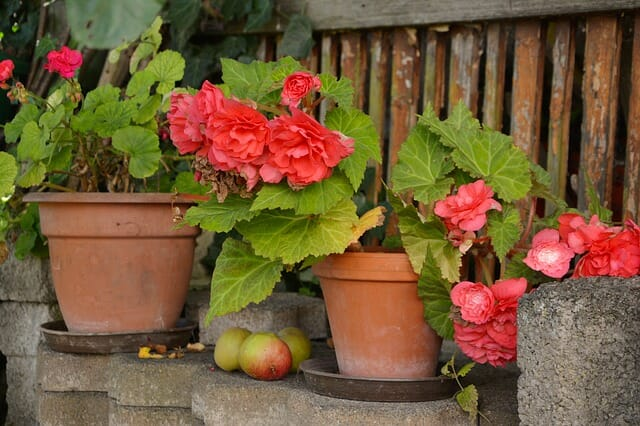 Begonias in an allotment